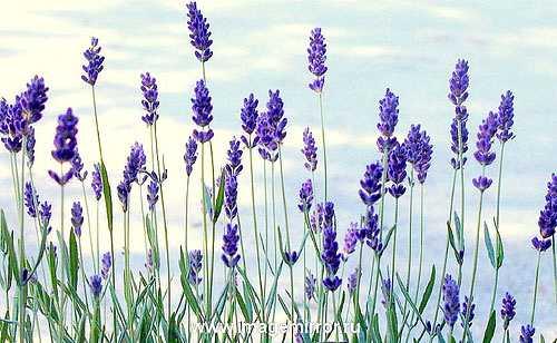 glavnye tsvety v parfyumernoy industrii 1